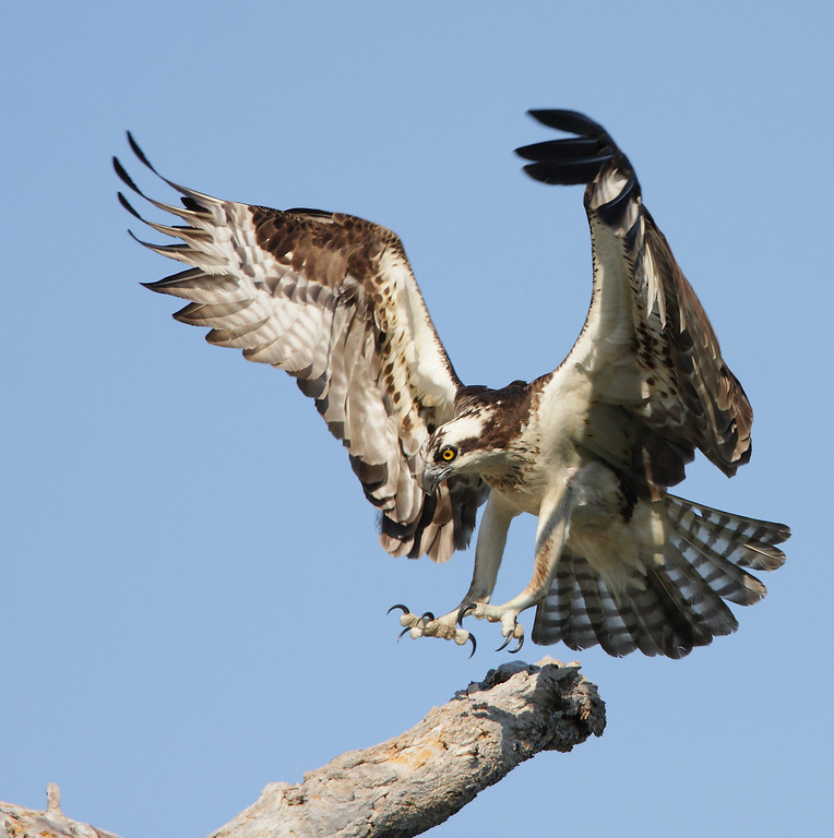 IMAGE: http://mikedavies.smugmug.com/Animals/Birds-of-Prey-1/MG8167/863357725_AX6im-XL.jpg