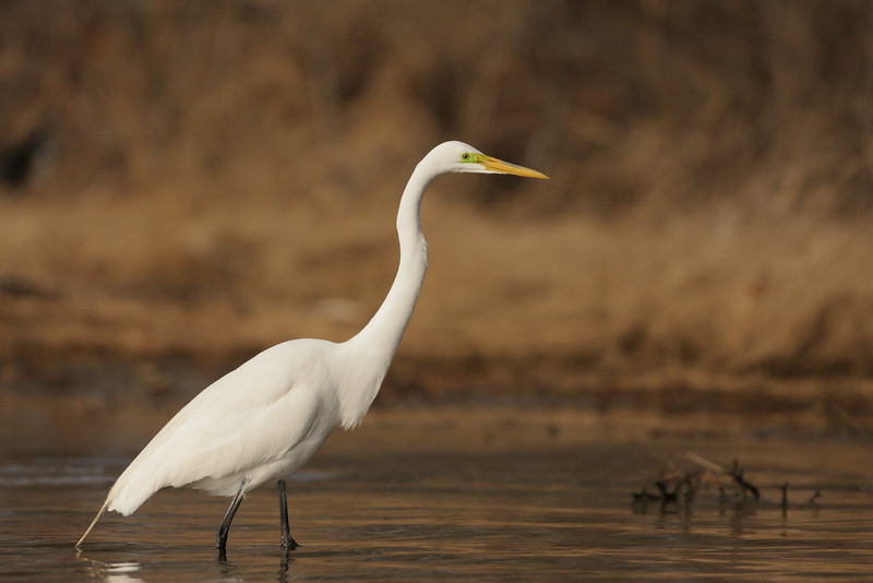 Great Egret On Prowl >> Egret Heron On The Prowl Birds In Photography On The Net Forums